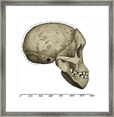 Taung Child Skull Framed Print by Sheila Terry