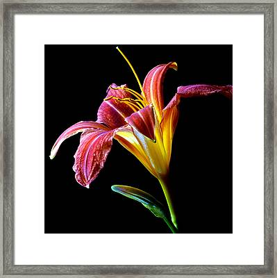Tawny Daylily Framed Print by Dung Ma