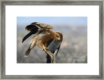 Tawny Eagle Framed Print by Alan Clifford