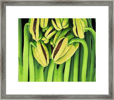 Tea Flower Stamens, Sem Framed Print by Susumu Nishinaga