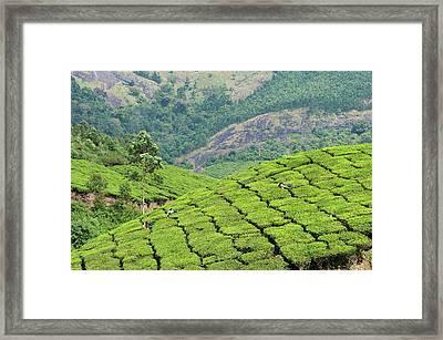Tea Pickers Working In Tea Plantation In Munnar Framed Print