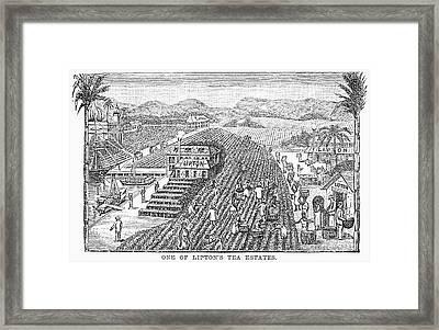 Tea Plantation, 1892 Framed Print by Granger