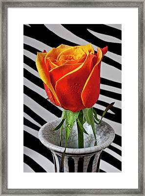 Tea Rose In Striped Vase Framed Print