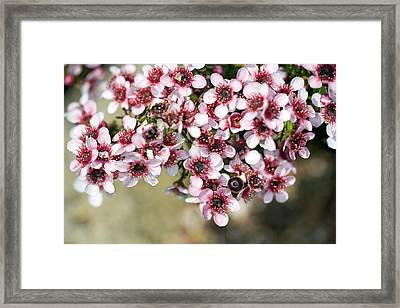 Tea Tree (leptospermum Scoparium) Framed Print by Dr Keith Wheeler