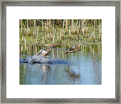 Framed Print featuring the photograph Teal Taking Flight by Steven Clipperton