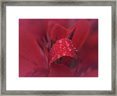 Tears Of The Canna No. 2 Framed Print by Richard Cummings