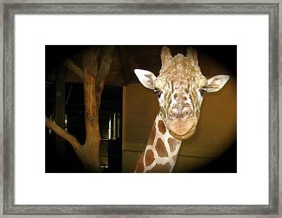 Tebow Framed Print