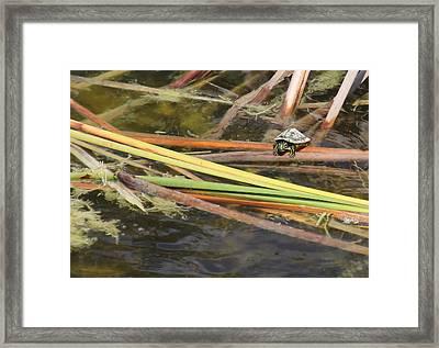 Teeny Tiny Turtle Framed Print by Rosalie Scanlon