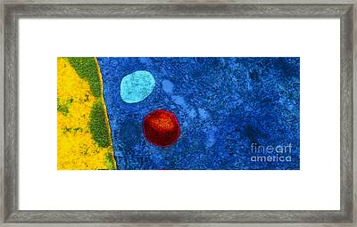 Tem Of Primary Lysosome In Liver Cellsc7036 Framed Print