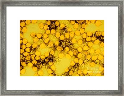 Tem Of Yellow Fever Viruses Framed Print by Science Source
