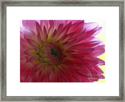 Tender Moments   Soft Pink Dahlia Framed Print by Inspired Nature Photography Fine Art Photography