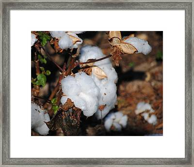 Tennessee Cotton II Framed Print by Jai Johnson