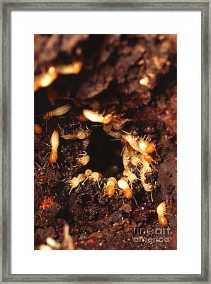 Termite Nest Framed Print by Science Source