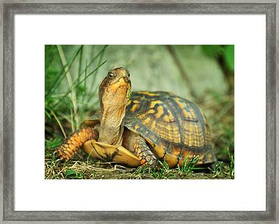 Terrapene Carolina Eastern Box Turtle Framed Print by Rebecca Sherman
