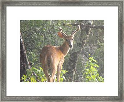 Texas Buck In The Rain Framed Print by Rebecca Cearley