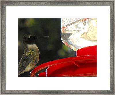 Texas Hummingbird Framed Print by Rebecca Cearley