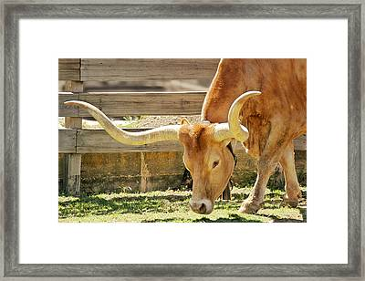 Texas Longhorns - A Genetic Gold Mine Framed Print