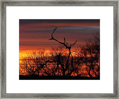 Texas Spanish Oak Tree  Sunset Framed Print by Rebecca Cearley