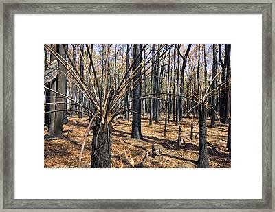 The Bare Stalks Of Tree Ferns Rise Framed Print by Jason Edwards