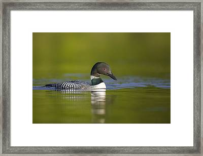 The Beauty Of A Common Loon Framed Print by Tim Grams