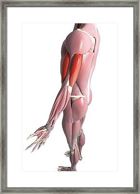 The Biceps And The Triceps Brachii Framed Print by MedicalRF.com