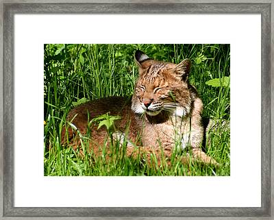 Framed Print featuring the photograph The Bobcat's Afternoon Nap by Laurel Talabere