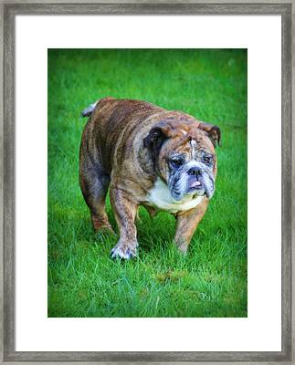 Framed Print featuring the photograph The Bulldog Shuffle by Jeanette C Landstrom
