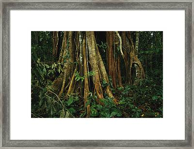 The Buttressed Roots On A Strangler Fig Framed Print by Steve Winter