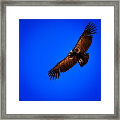 The California Condor Framed Print by David Patterson