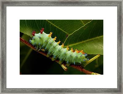The Caterpillar Of A Cecropia Moth Framed Print