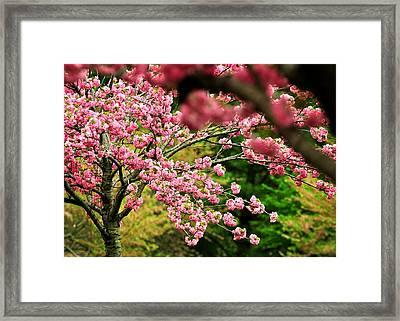 The Cherry Orchard Framed Print by Rebecca Sherman