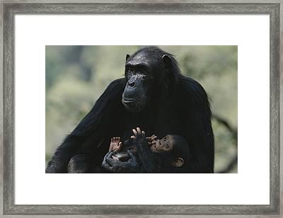 The Chimpanzee Rafiki With Her Twins Framed Print by Michael Nichols