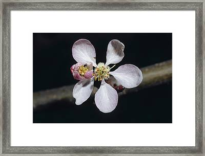 The Dainty Pale Pink Blossom Flower Framed Print