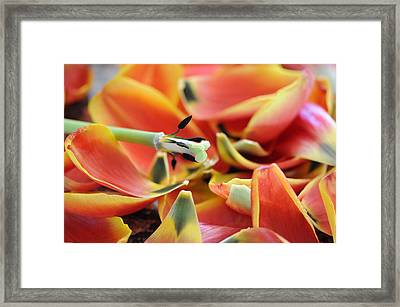 The Day The Tulip Exploded Framed Print by George Crawford