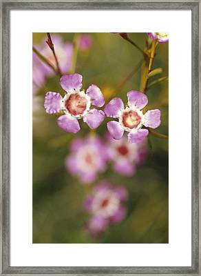 The Delicate Pink Petals Framed Print by Jason Edwards