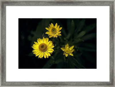 The Delicate Yellow Petals Of The Paper Framed Print by Jason Edwards
