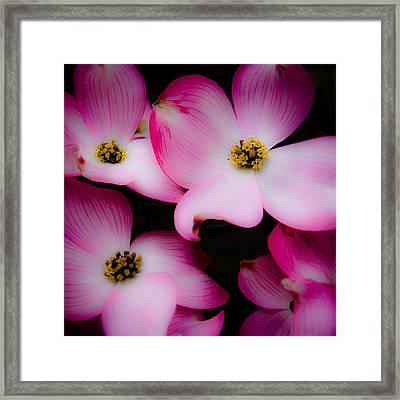 The Dogwood Flower Framed Print by David Patterson