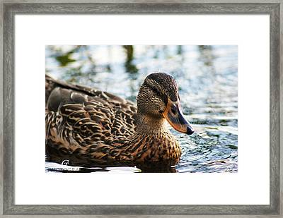 The Duck 69 Framed Print by Carolina Artemis Tamvaki