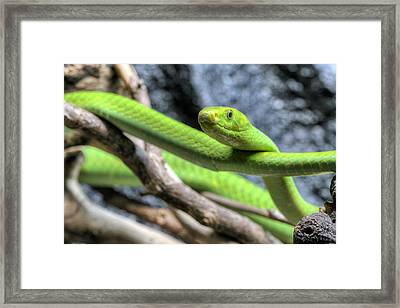The Eastern Green Mamba Framed Print by JC Findley