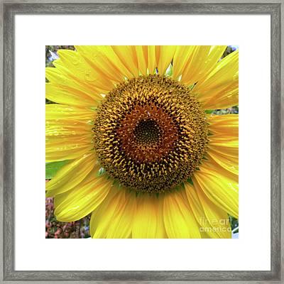 The Eye Of The Sunflower Framed Print by Christine Belt