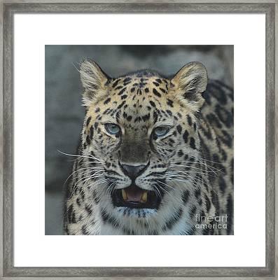 The Eyes Of A Jaguar Framed Print by Paul Ward