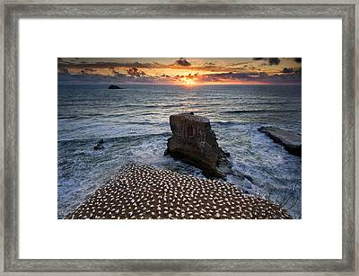 The Gannet Colony Framed Print by Ng Hock How
