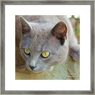 Framed Print featuring the photograph The Gray Cat by Laurinda Bowling