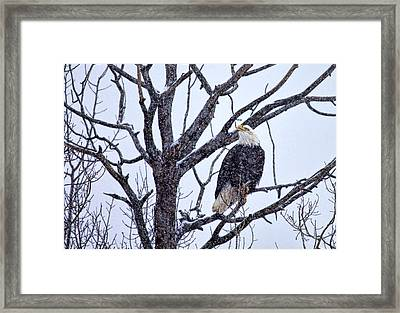 The Great American Bald Eagle Framed Print by Gary Smith