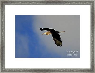 The Great Blue Heron In Flight Framed Print by Inspired Nature Photography Fine Art Photography