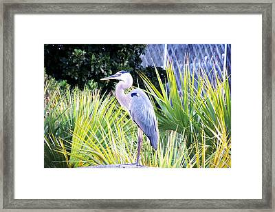 The Great Blue Heron Framed Print by Marilyn Holkham