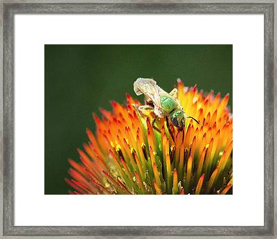 The Green Hornet Framed Print by Vicki Jauron