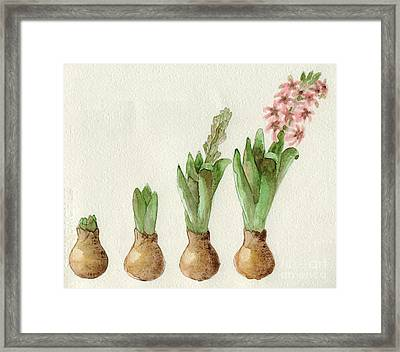 The Growth Of A Hyacinth Framed Print by Annemeet Hasidi- van der Leij