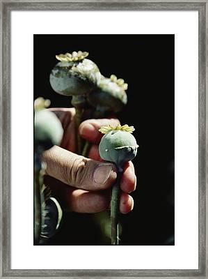 The Harvest Of Opium Begins By Incising Framed Print