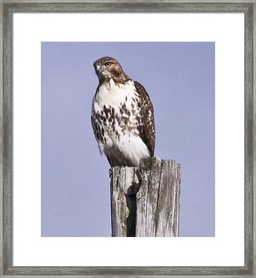The Hawk Framed Print by Valerie Wolf
